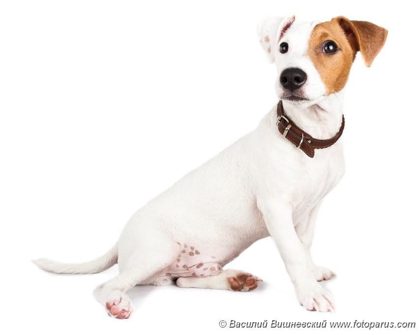 на белом щенки фоне и картинки собаки
