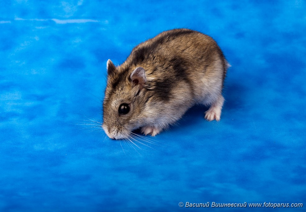 Blue dwarf hamster pictures to pin on pinterest thepinsta - Hamster russe panda ...