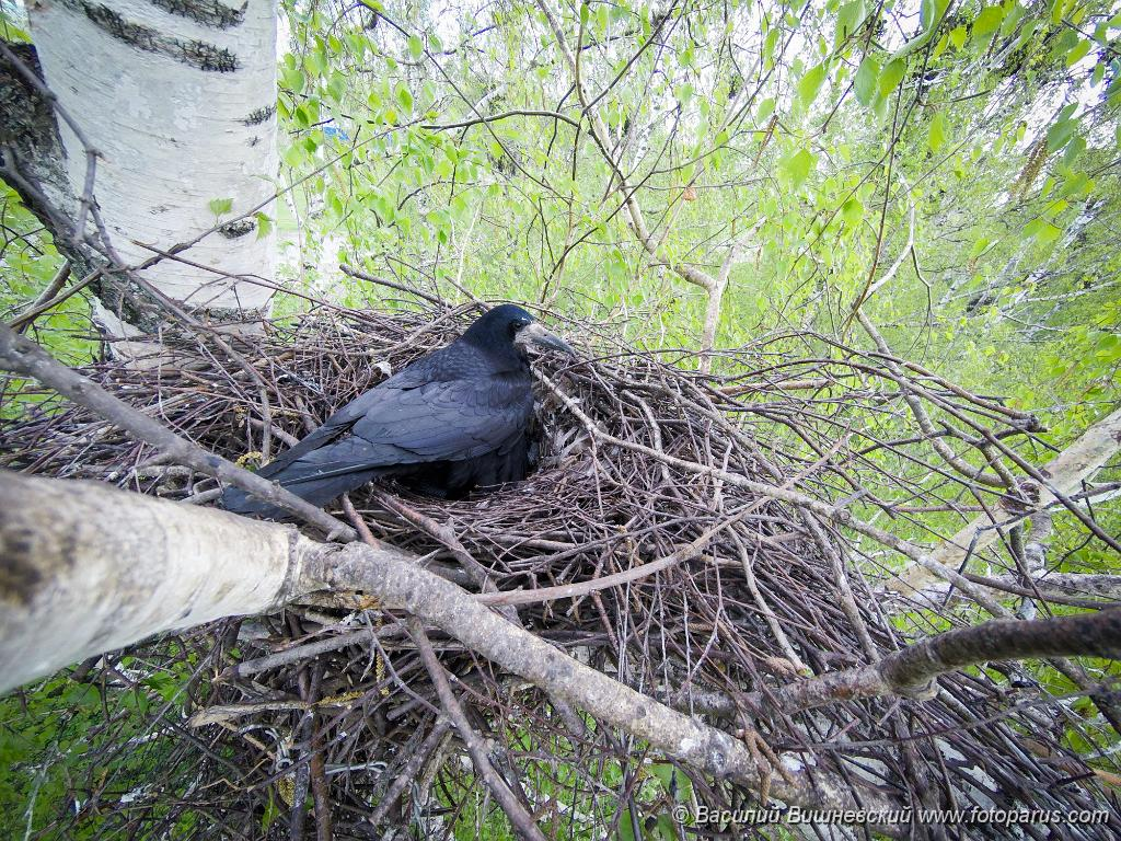 nest160506-1k_Corvus_frugilegus_2016_0506_1439.jpg - Гнездо. Грач, Corvus frugilegus. The nest of the Rook in nature.
