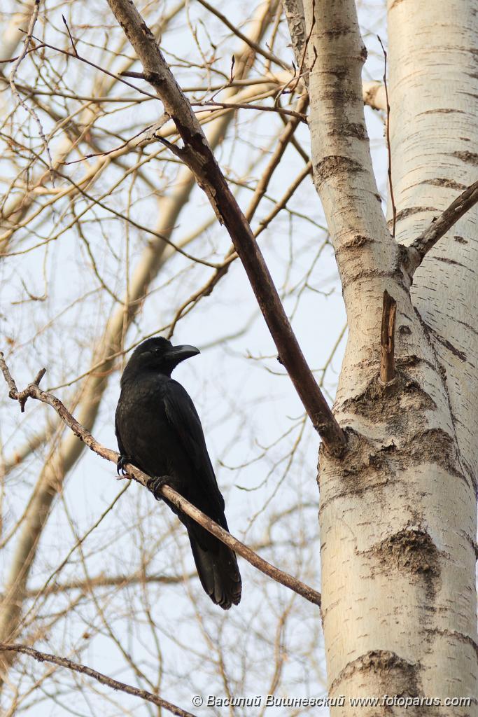 bird_apart_Corvus_macrorhynchos201110280417.jpg - Ворона большеклювая, Corvus macrorhynchos, Jungle Crow. Комсомольск-на-Амуре, Хабаровский край. Komsomolsk-on-Amur, Khabarovsk Krai, Russia