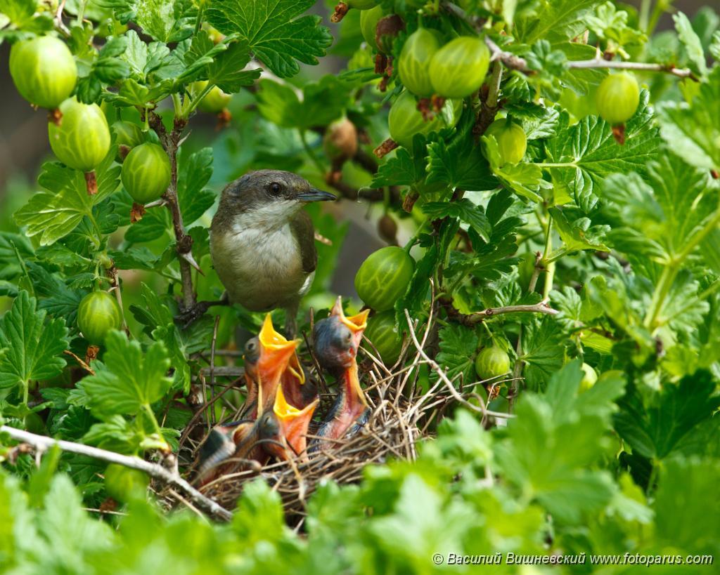 nest_with_bird_Sylvia_curruca201006041031.jpg - Рязанская область, Пронский район, деревня Денисово. Гнездо в кусте крыжовника на огороде. Славка-завирушка. The nest of the Lesser Whitethroat (Sylvia curruca) in gooseberry bush.